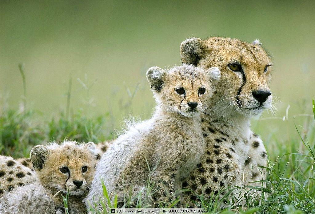 豹子 草原 猎豹 幼豹 野生动物 生物世界 狂野大自然 亲情一家 可爱