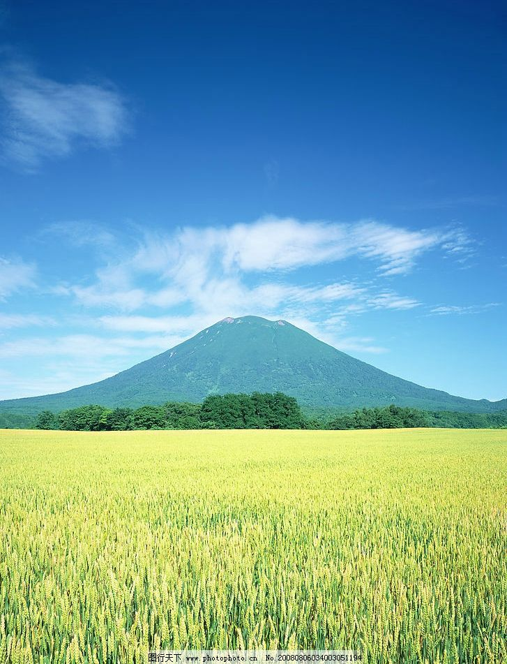 金黄色的麦田 麦田 高山 金黄 小麦 旅游摄影 国外旅游 北海道风光