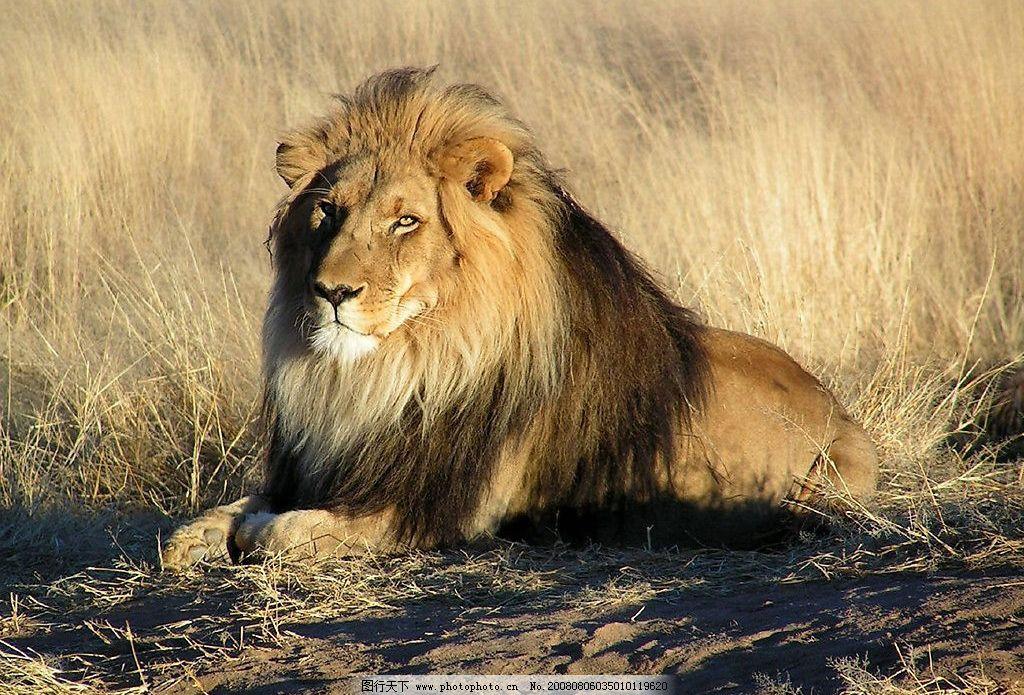 壁纸 动物 狮子 桌面 1024_695