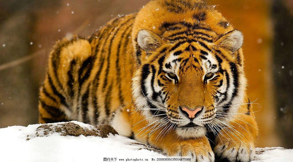老虎 雪地的老虎 生物世界 野生动物 摄影图库 生物世界野生动物