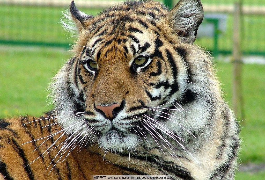 老虎 草原的老虎 生物世界 野生动物 动物 摄影图库 生物世界——野生
