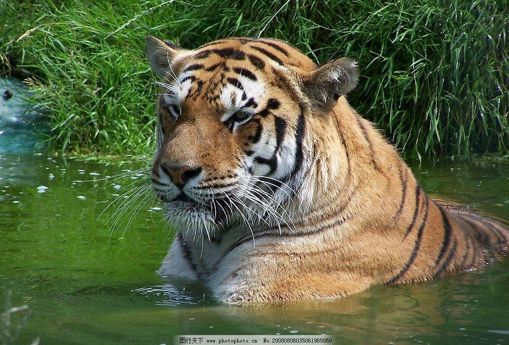 老虎 游戏的老虎 生物世界 野生动物 动物 摄影图库 生物世界——野生