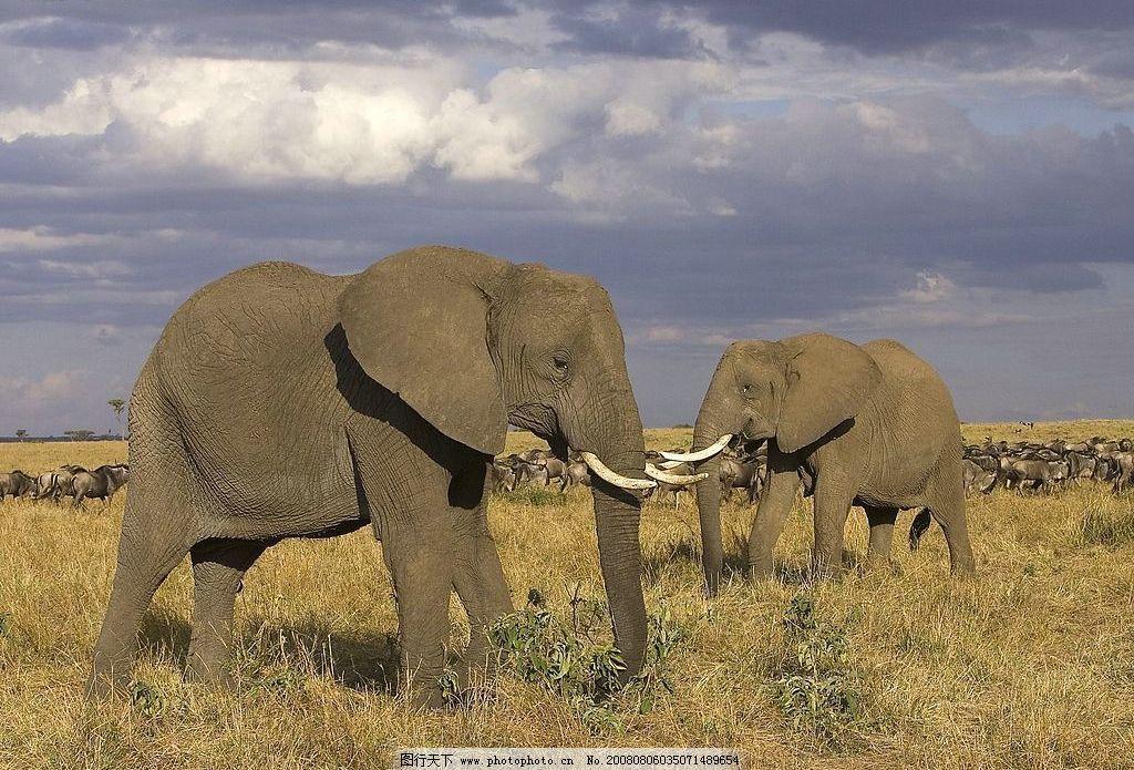 野生大象 草原 大象 蓝天 生物世界 野生动物 动物 摄影图库 72dpi