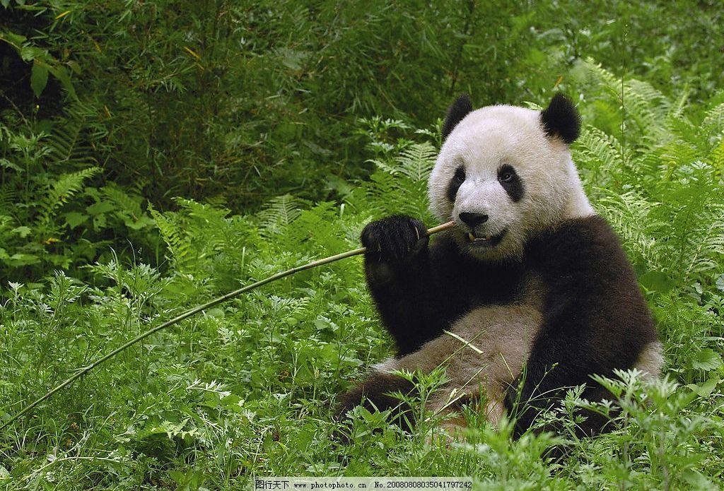 大熊猫 四川卧龙自然保护区 生物世界 野生动物 动物世界 摄影图库