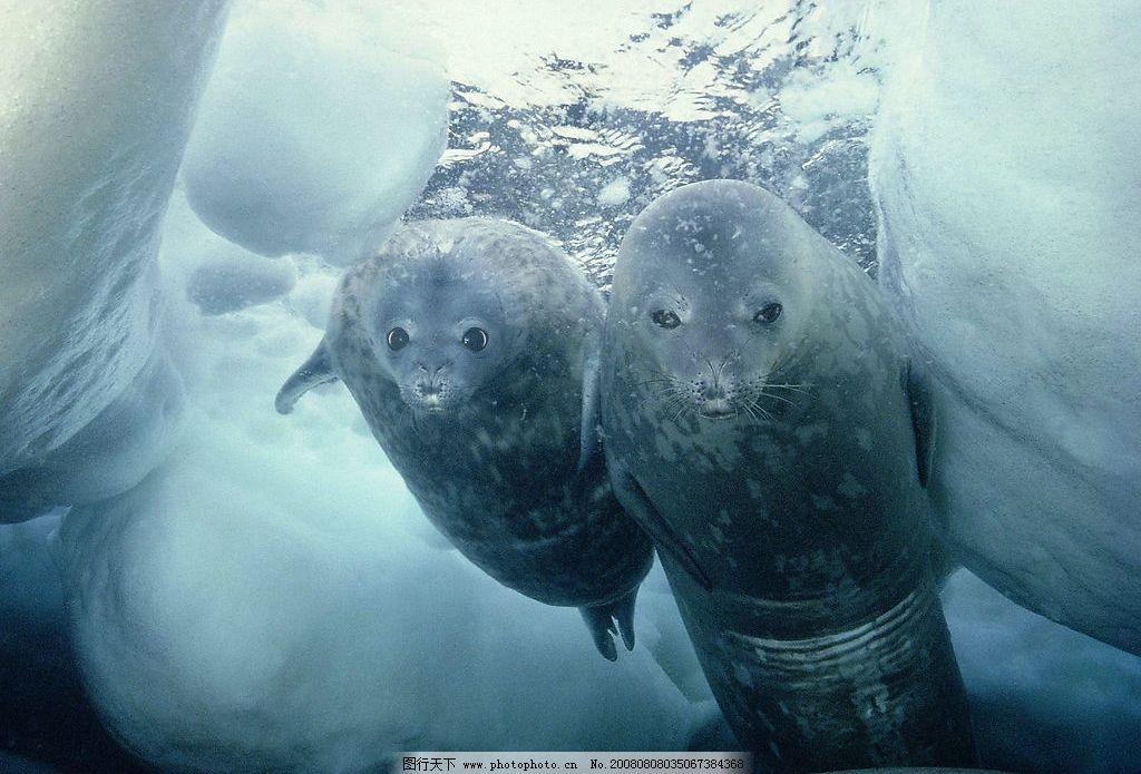南极洲威德尔海豹 动物世界 摄影图库