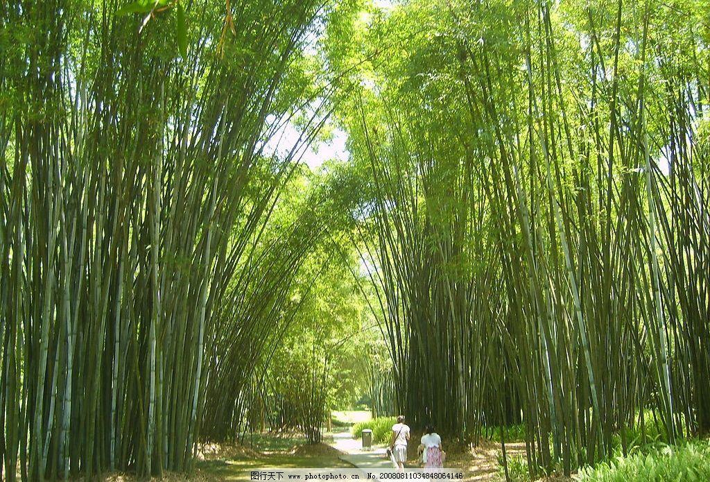 竹林 绿色 竹子 自然景观 自然风景 摄影图库