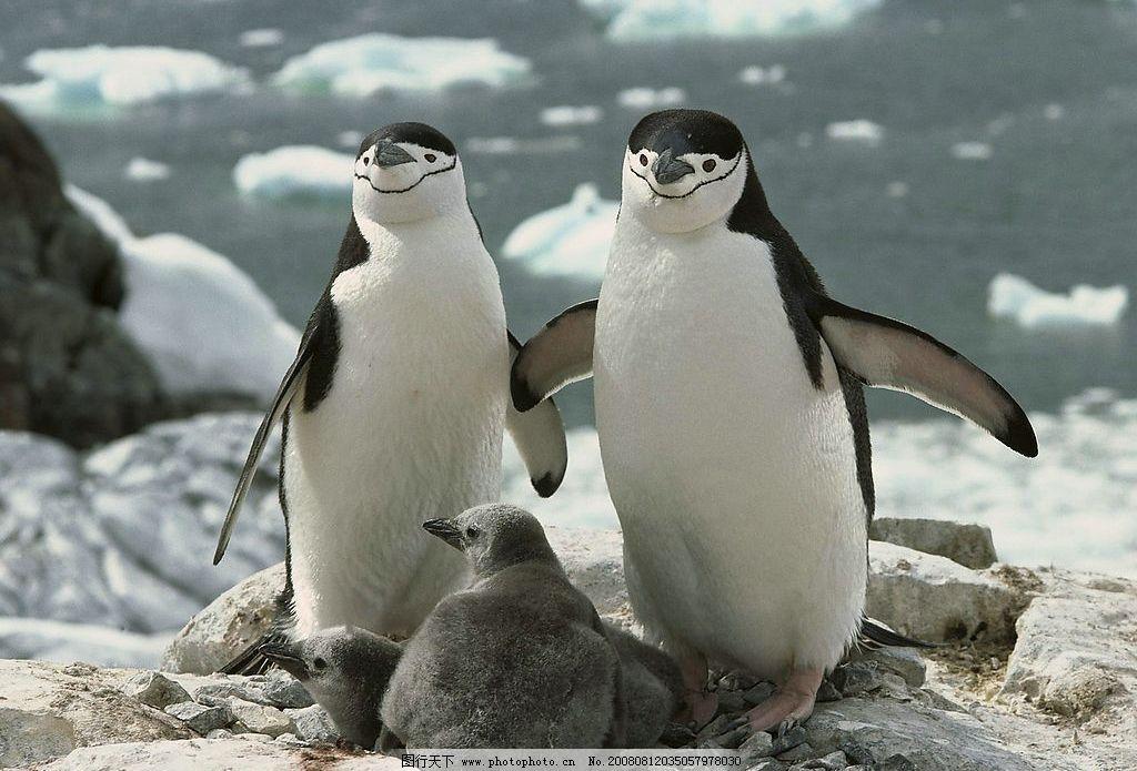 南极洲颊带企鹅 生物世界 野生动物 动物世界 摄影图库