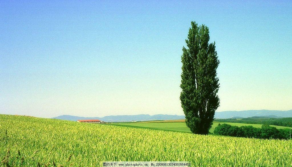 麦田中的白杨树图片