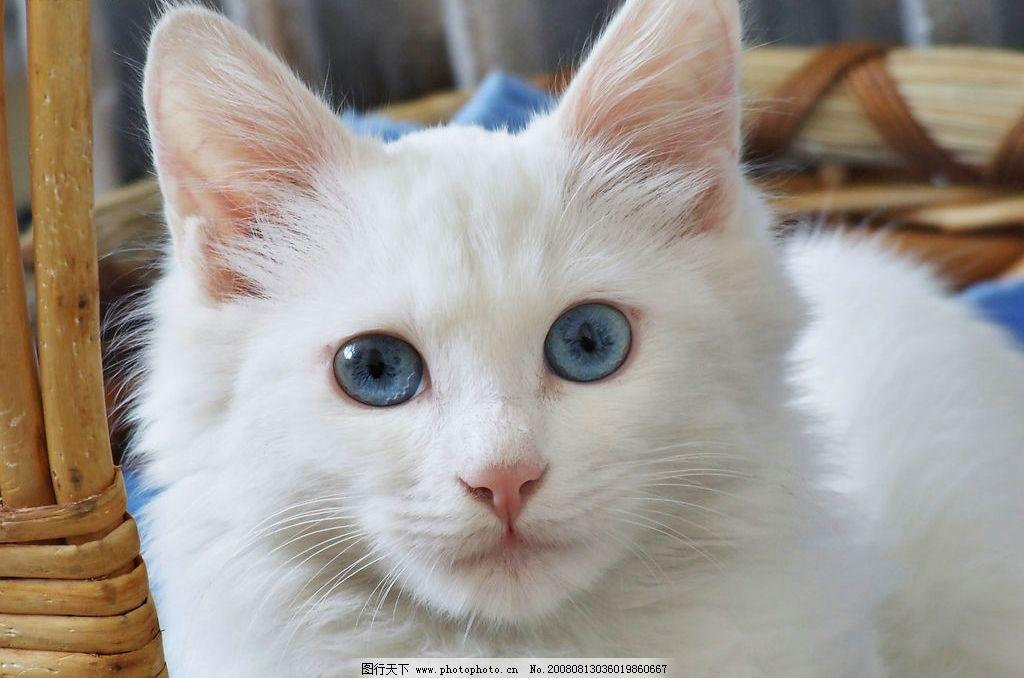 猫咪 小猫 白猫 白毛 蓝眼睛 生物世界 其他生物 摄影图库 72dpi jpg