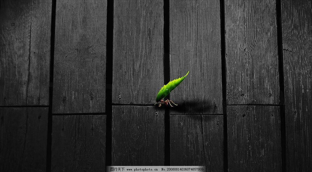 蚂蚁搬运树叶 蚂蚁 树叶 木板 摄影图库     广告素材 生物世界 其他