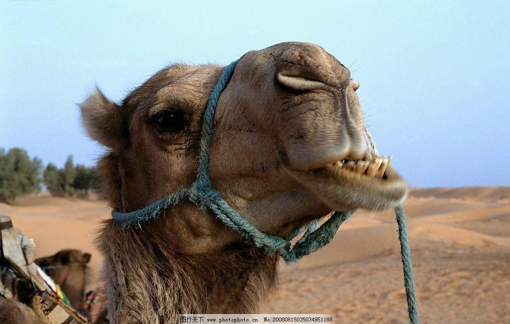 沙漠骆驼 沙漠 骆驼 动物 可爱 通人性 生物世界 野生动物 摄影图库
