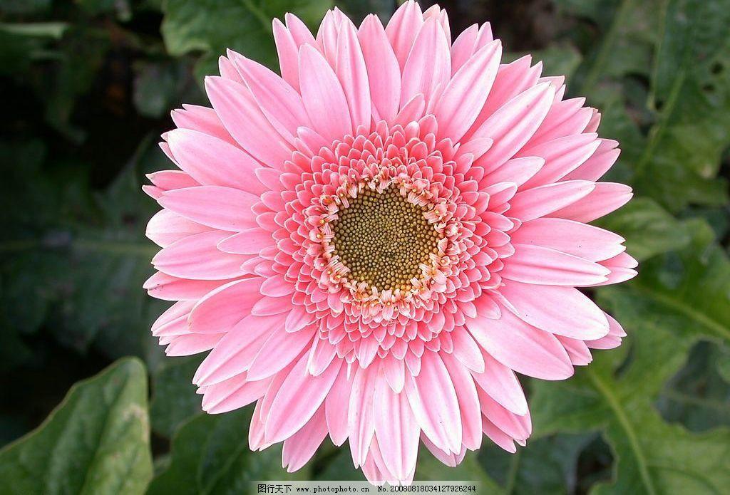 粉红菊花 鲜花 美丽 花朵 旅游摄影 自然风景 摄影图库 72dpi bmp