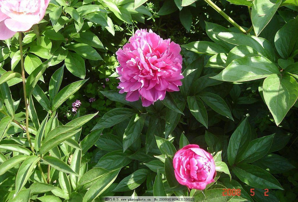 开放中的花朵 牡丹花 花丛 风景 旅游摄影 自然风景 摄影图库