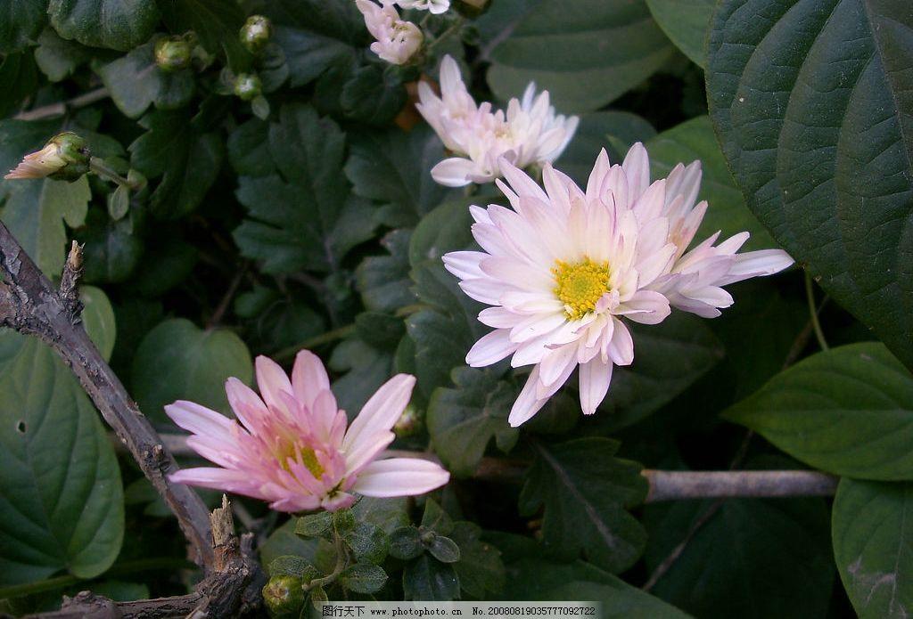 白色野菊花 白色菊花 野菊花 菊花墨绿叶子 自然景观 自然风景 摄影