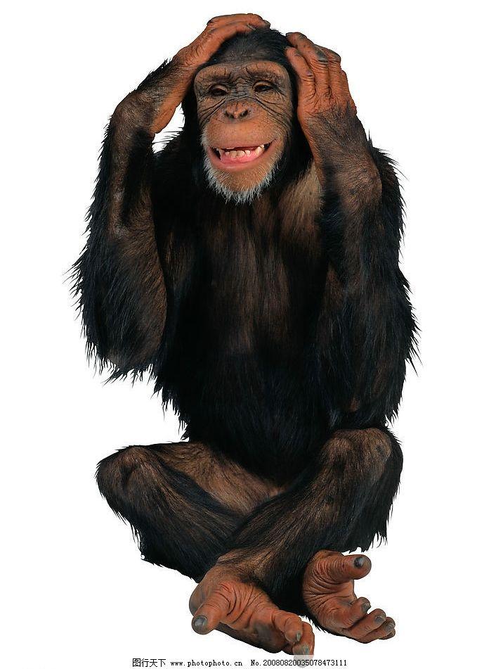 猩猩 无助 难过 生物世界 野生动物 摄影图库 300dpi jpg