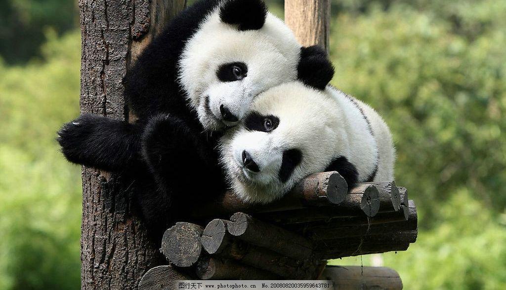 一双可爱的熊猫宝宝图片