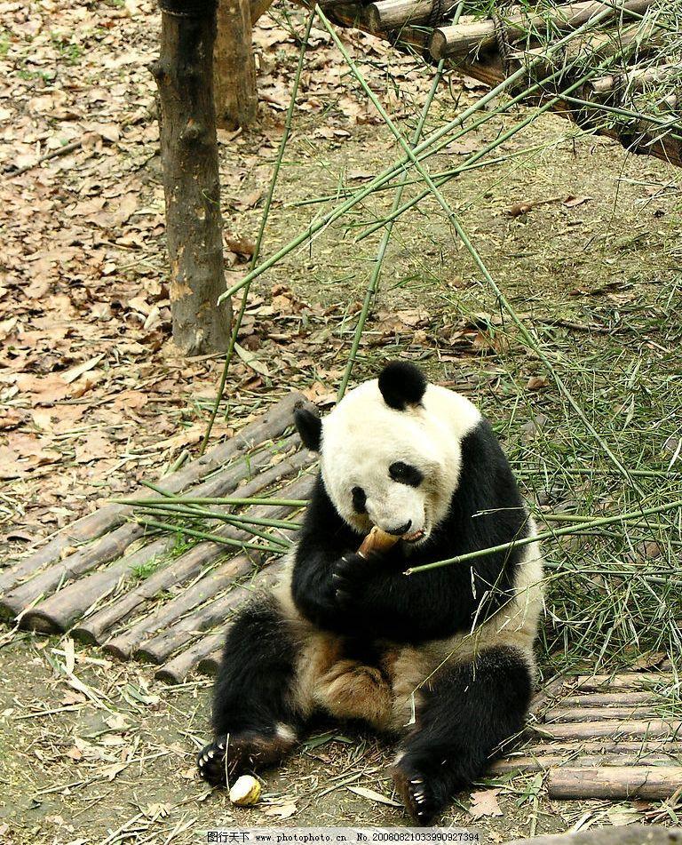 大熊猫 高精度大熊猫 大熊猫培育基地 国宝 国家保护动物 竹子