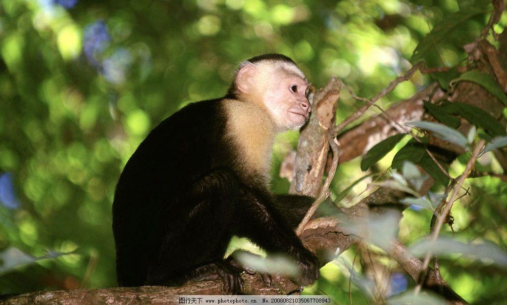 猴子 小猴 生物世界 野生动物 摄影图库 300dpi jpg
