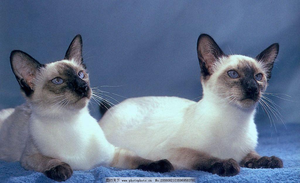 两只猫 动物 宠物 可爱 家猫 可爱之猫 摄影图库