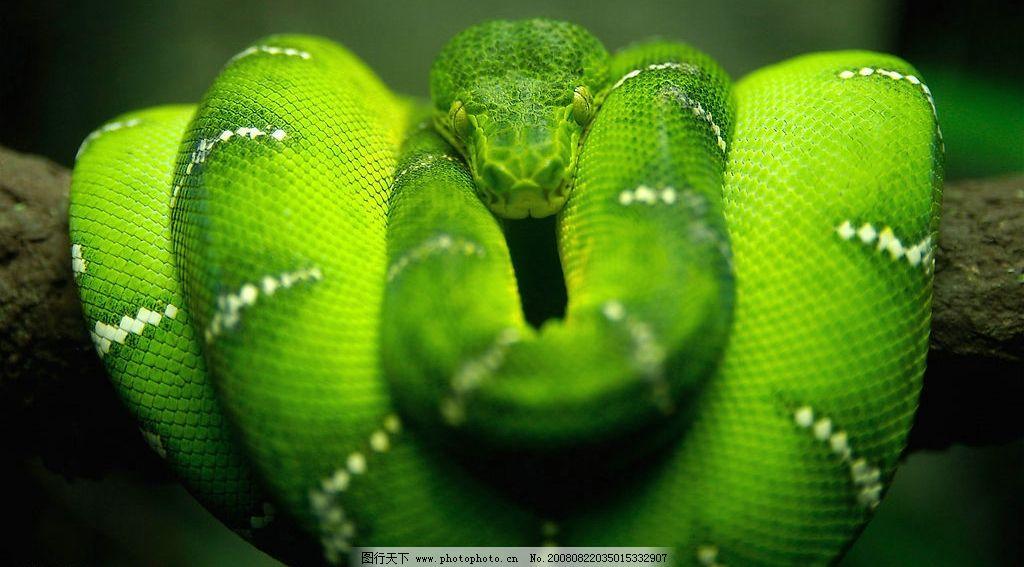 青蛇 竹叶青 生物世界 野生动物 老四同志的自留地 摄影图库 图片素材图片