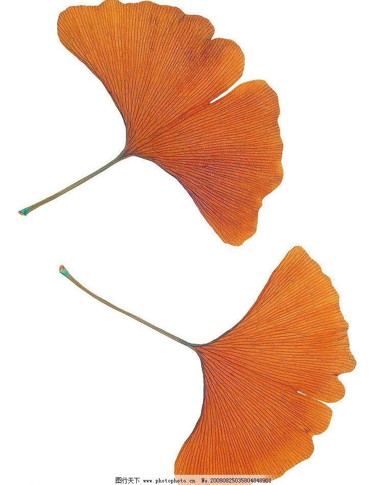 银杏叶图片