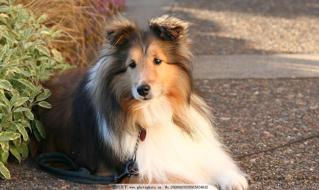 可爱的狮子狗狗图片