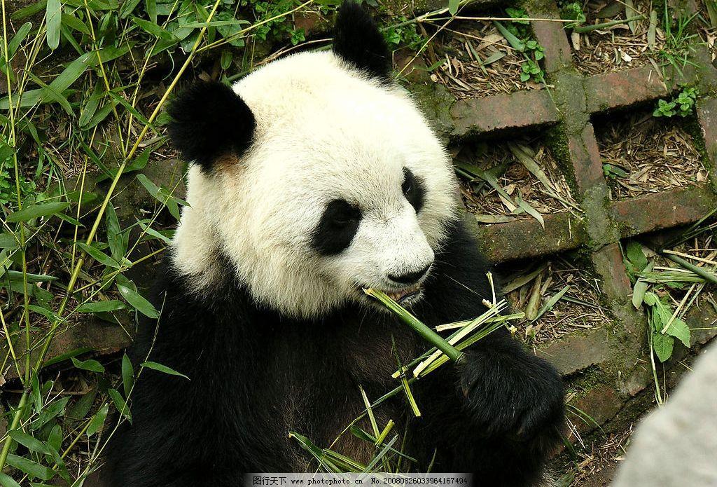 大熊猫培育基地 国宝