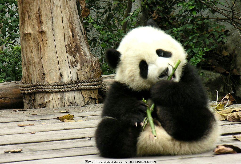 熊猫晶晶 大熊猫培育基地 国宝 国家保护动物 竹子 生物世界 野生动物