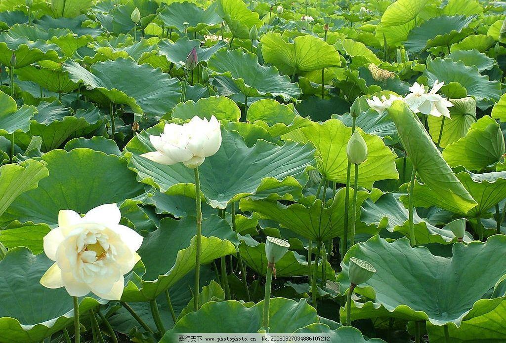 荷花 白色荷花 荷叶 荷塘 风景 山水 自然景观 自然风景 摄影图库 72d