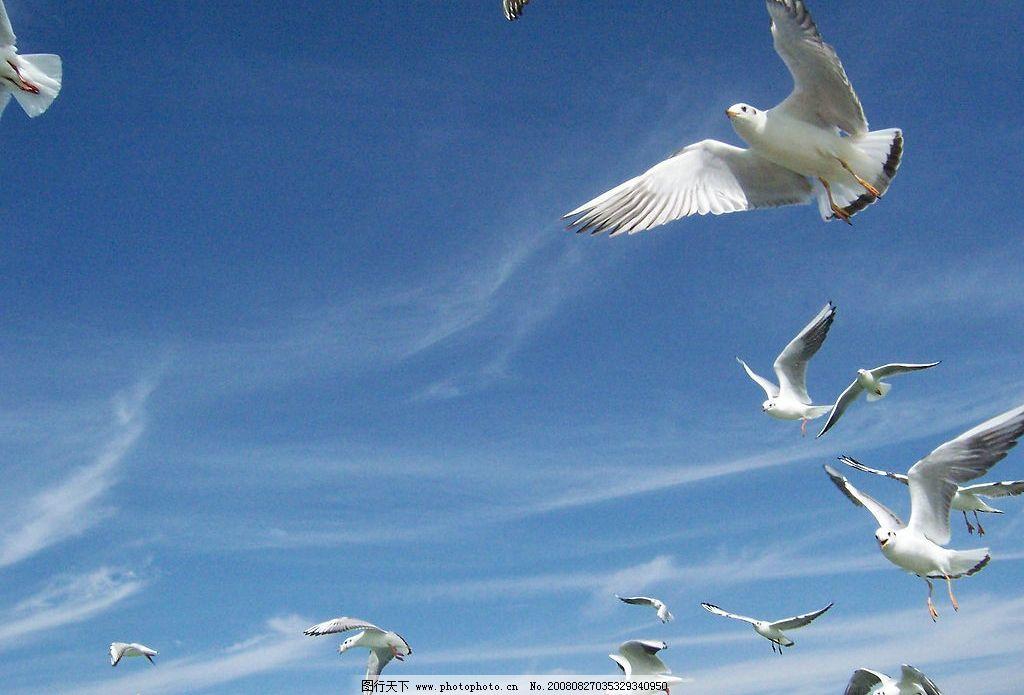 飞翔的海鸥 自然风景 蓝天 白云 摄影图库
