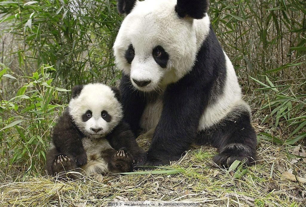 熊猫 大熊猫 小熊猫 大熊猫培育基地 国宝 国家保护动物 竹子 生物世界 野生动物 动物图片素材类 旅游摄影 国内旅游 摄影图库 300DPI JPG