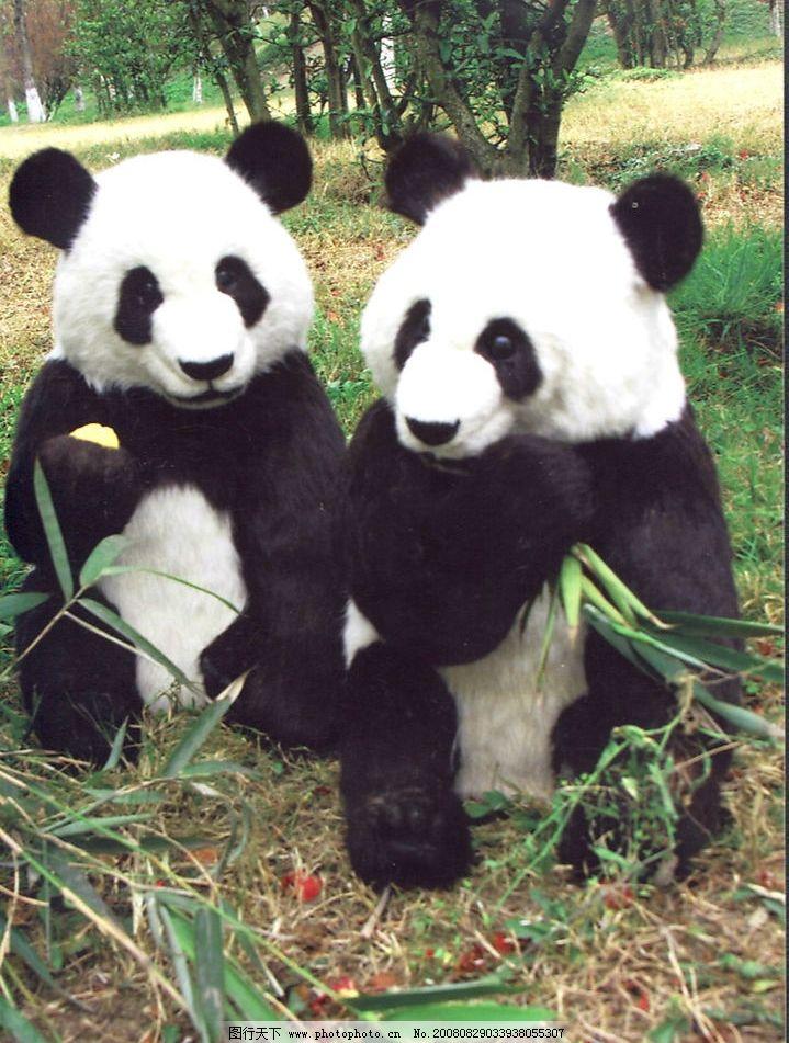 熊猫 大熊猫 大熊猫培育基地 国宝 国家保护动物 竹子 生物世界 野生