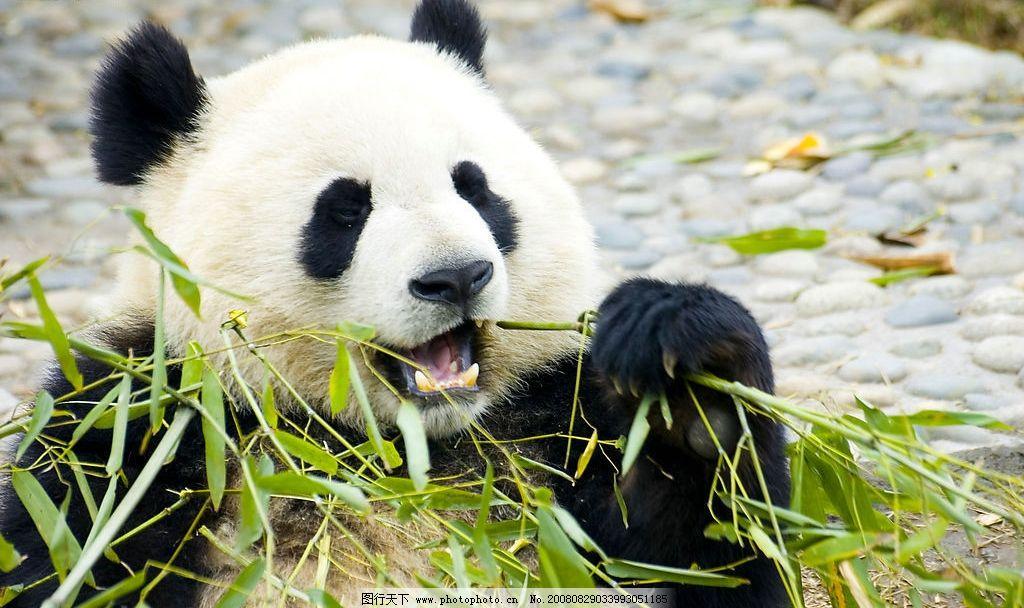 熊猫吃竹叶 大熊猫 大熊猫培育基地 国宝 国家保护动物 竹子 生物世界