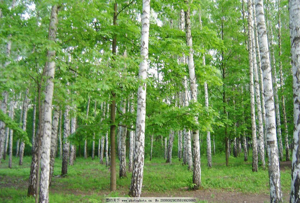 白桦林 树林 风景 摄影图库