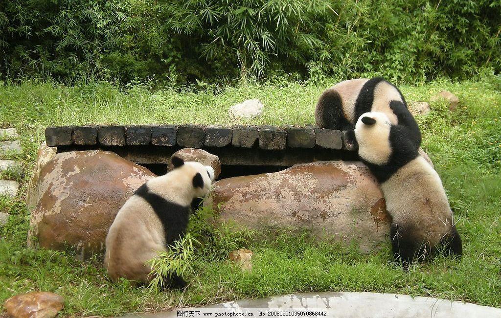 熊猫 中国 国宝 动物 摄影图库