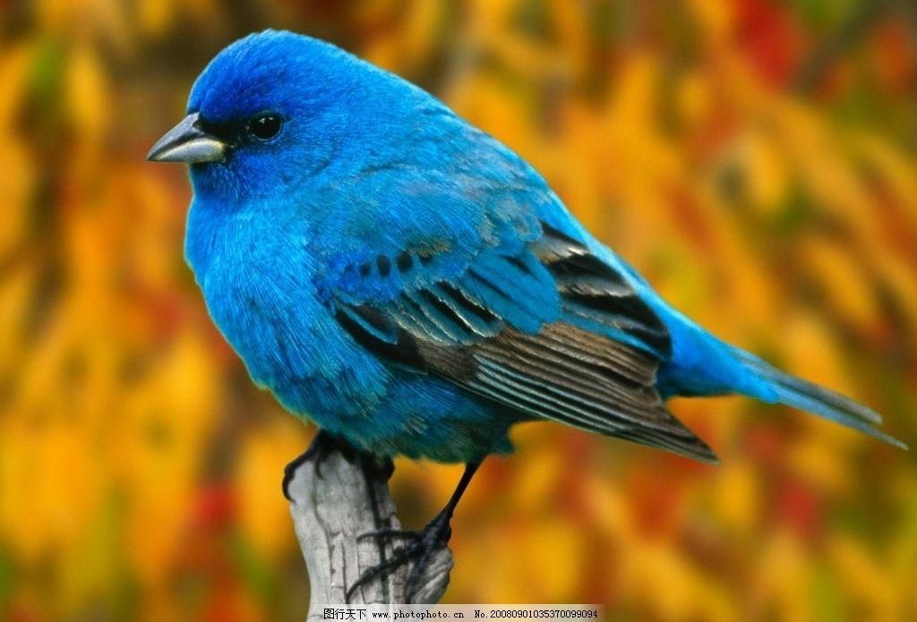鸟类大自然 蓝色的小鸟 树枝 背景 蓝色羽毛 生物世界 漂亮的动物