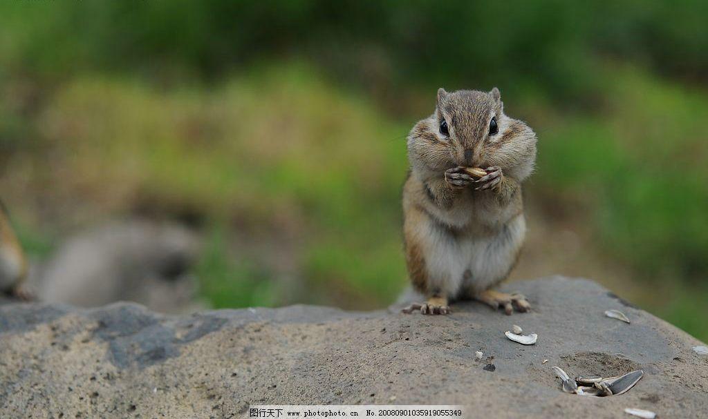 松鼠 吃东西 小动物 乖巧 可爱 逗趣 嗑瓜子 食物 警惕 眼神