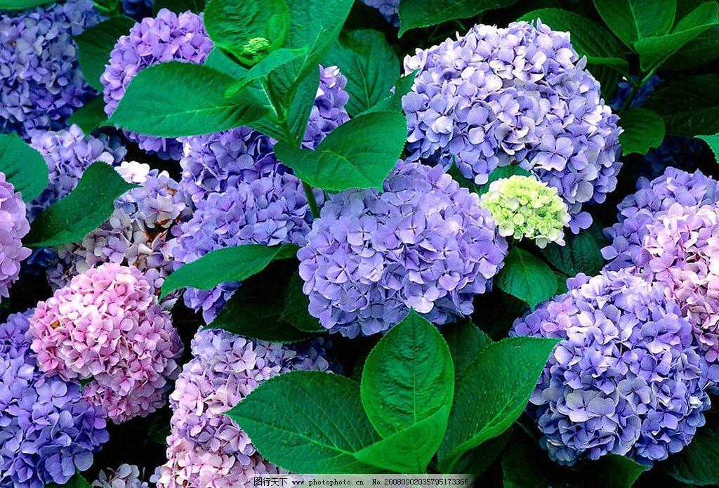 蓝色绣球花 蓝色的 鲜花 宽屏画 其他 图片素材 摄影图库