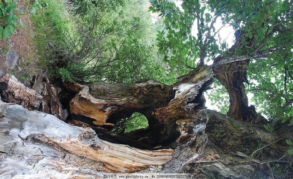 米堆冰川之古树 风光 枯树 摄影图库 树干 西藏 自然 米堆冰川之古树
