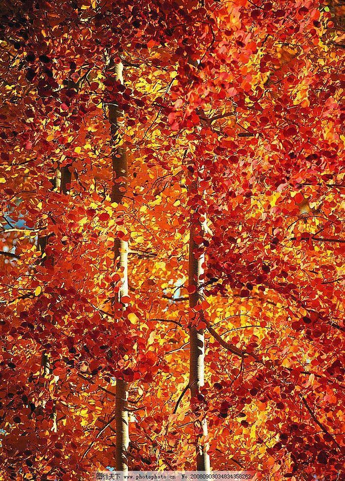 红树林 枫树 枫叶 枫树林 自然景观 自然风景 摄影图库 72dpi jpg