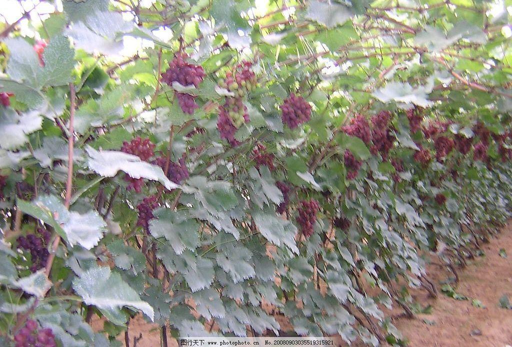 丙烯手绘紫色葡萄