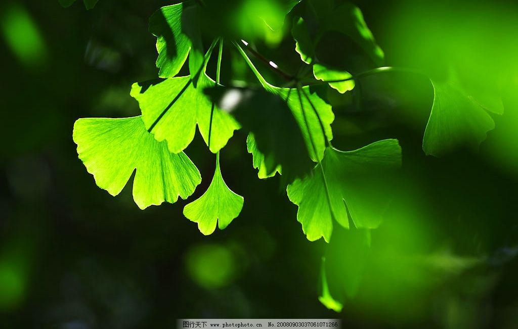 银杏嫩叶 银杏叶子 嫩绿色 绿色 黄绿色 阳光 光线 活化石 生活百科