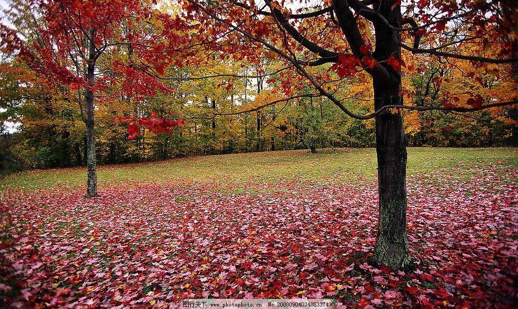枫树林 红色枫叶 枫树 自然景观 自然风景 摄影图库 300dpi jpg