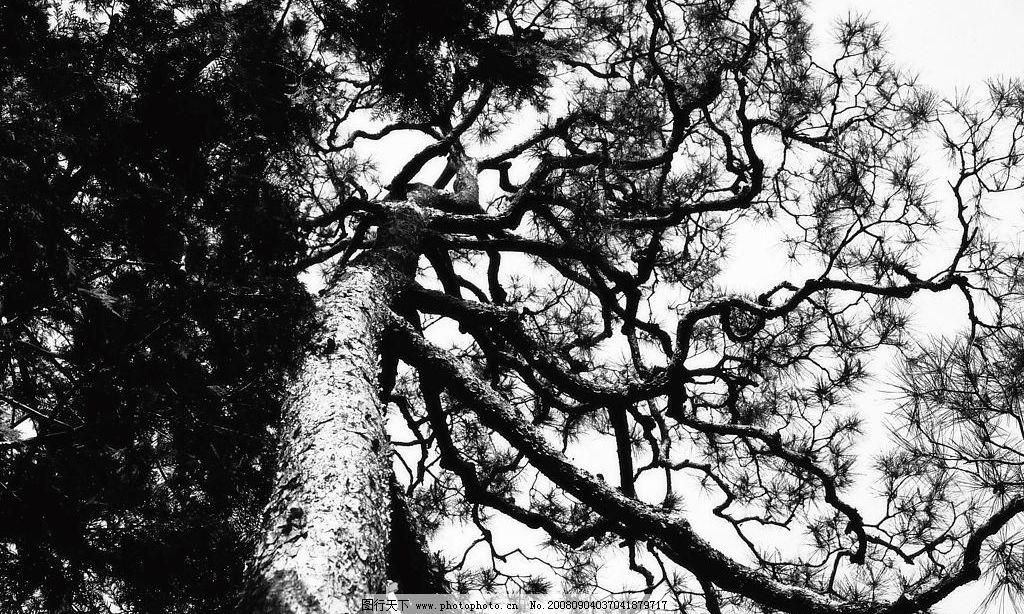 松树-黑白 松树 黑白 苍天大树 直上云霄 树杆 枝叶 天空 生活百科