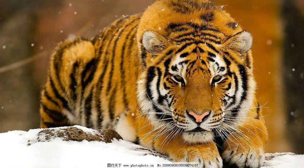 老虎 野生老虎 生物世界 野生动物 摄影图库 300dpi jpg