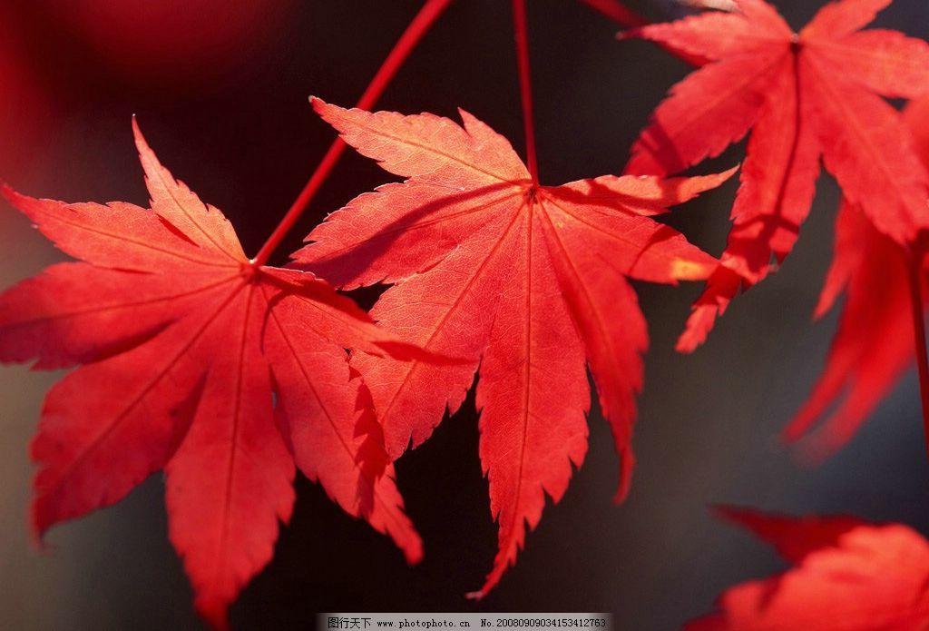 秋天 落叶 枫叶 金秋 金色 旅游摄影 摄影图库