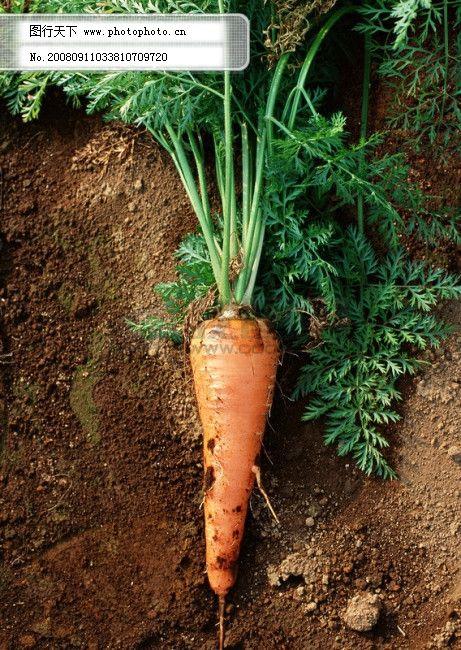 胡萝卜 叶子 土壤 胡萝卜免费下载 摄影图 蔬菜类 图片素材 生物世界