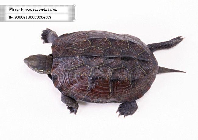 小动物 乌龟 海龟 动物世界 千年乌龟 王八