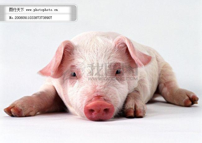 小动物 动物世界 猪 小猪 家禽