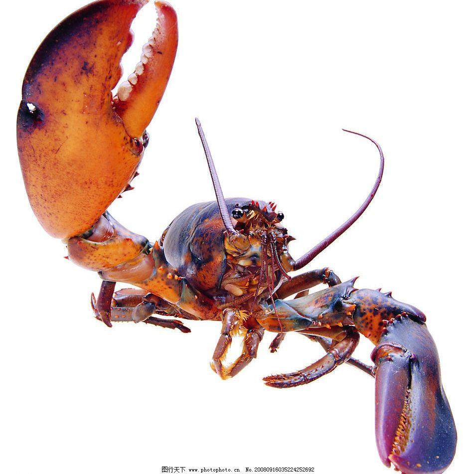 龙虾 海洋 海底世界 生物世界 鱼类 摄影图库 72dpi jpg